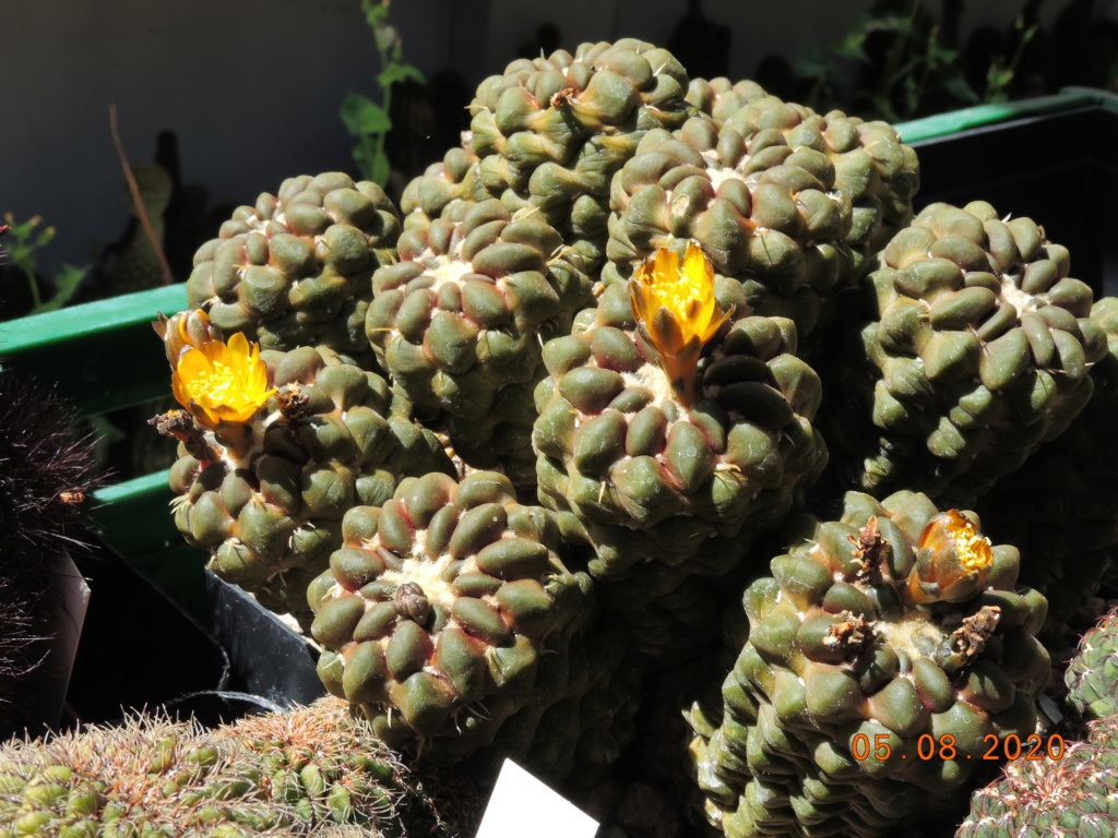 Cacti and Sukkulent in Köln, every day new flowers in the greenhouse Part 240 Bild5965
