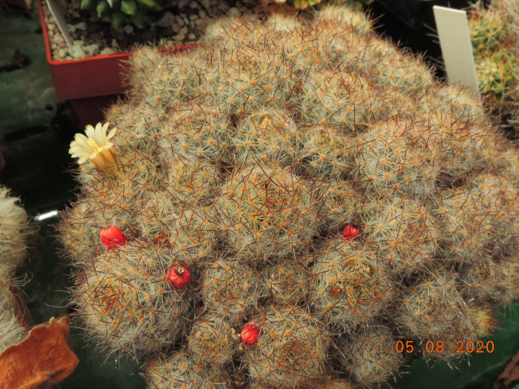 Cacti and Sukkulent in Köln, every day new flowers in the greenhouse Part 240 Bild5968