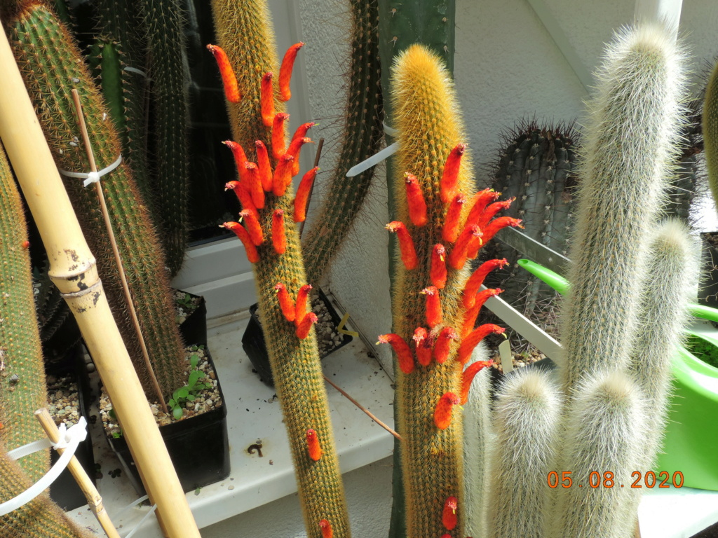 Cacti and Sukkulent in Köln, every day new flowers in the greenhouse Part 240 Bild5972