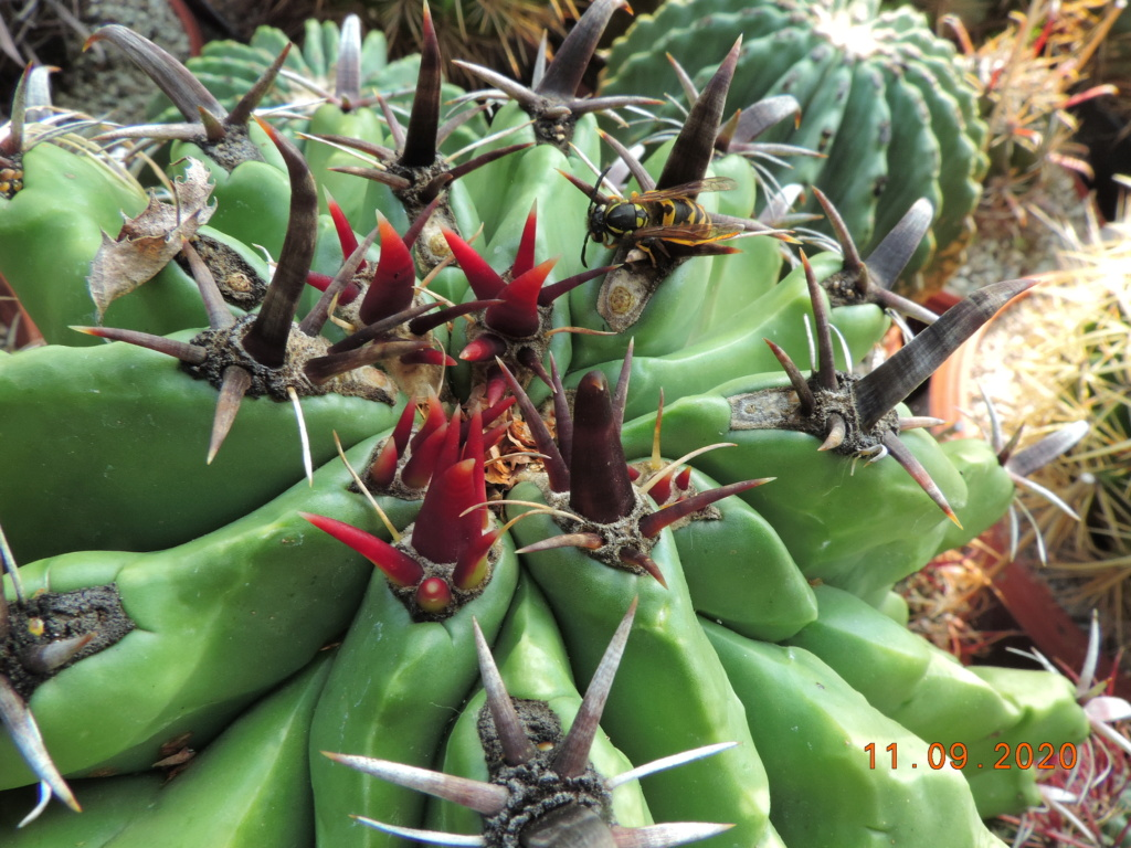Cacti and Sukkulent in Köln, every day new flowers in the greenhouse Part 243 Bild6136