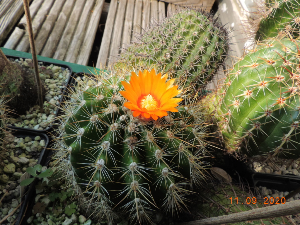 Cacti and Sukkulent in Köln, every day new flowers in the greenhouse Part 243 Bild6137