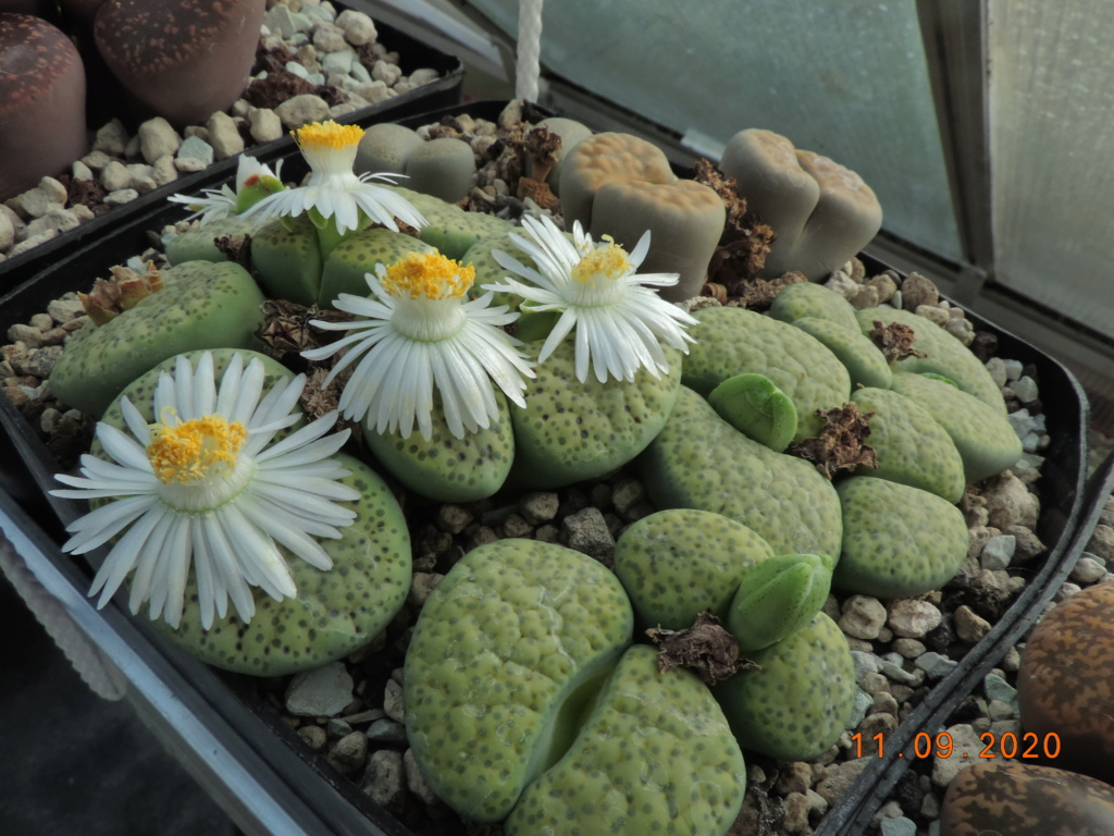 Cacti and Sukkulent in Köln, every day new flowers in the greenhouse Part 243 Bild6149
