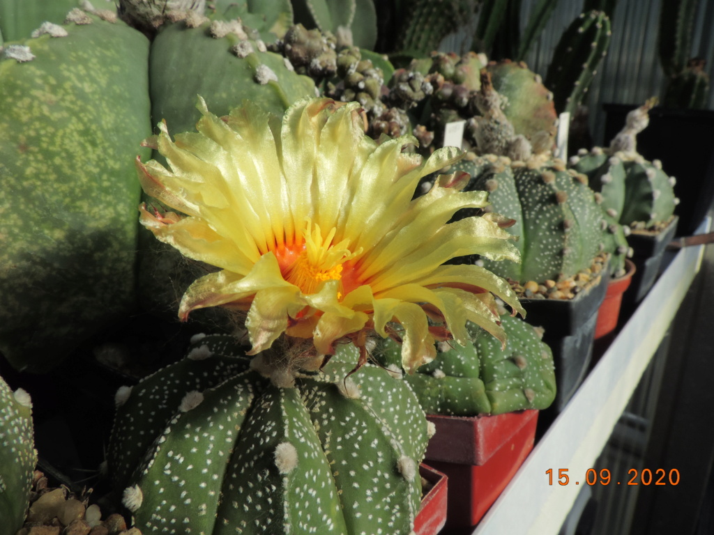 Cacti and Sukkulent in Köln, every day new flowers in the greenhouse Part 243 Bild6155
