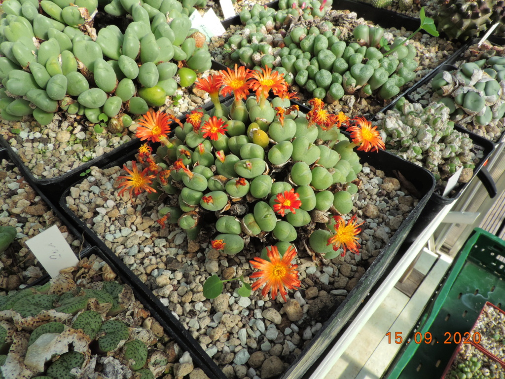 Cacti and Sukkulent in Köln, every day new flowers in the greenhouse Part 243 Bild6166