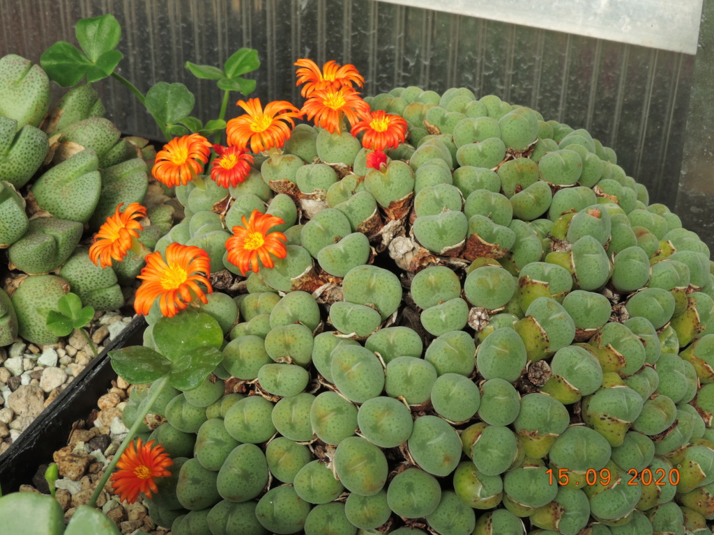 Cacti and Sukkulent in Köln, every day new flowers in the greenhouse Part 243 Bild6169