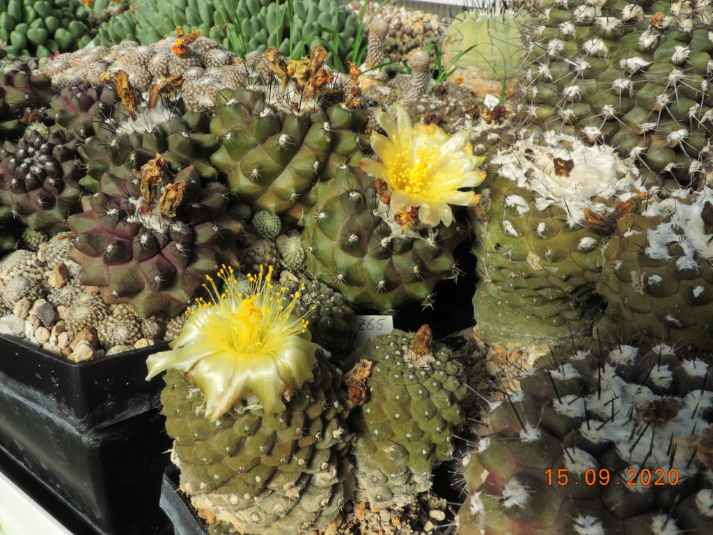 Cacti and Sukkulent in Köln, every day new flowers in the greenhouse Part 243 Bild6173