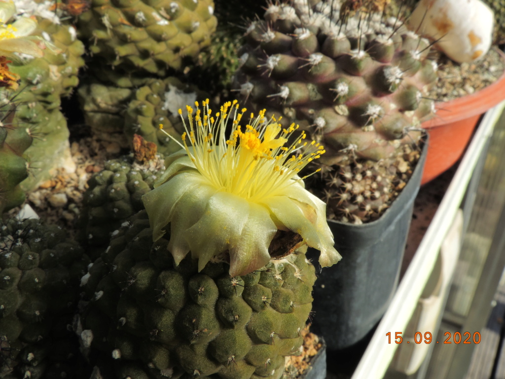 Cacti and Sukkulent in Köln, every day new flowers in the greenhouse Part 243 Bild6174