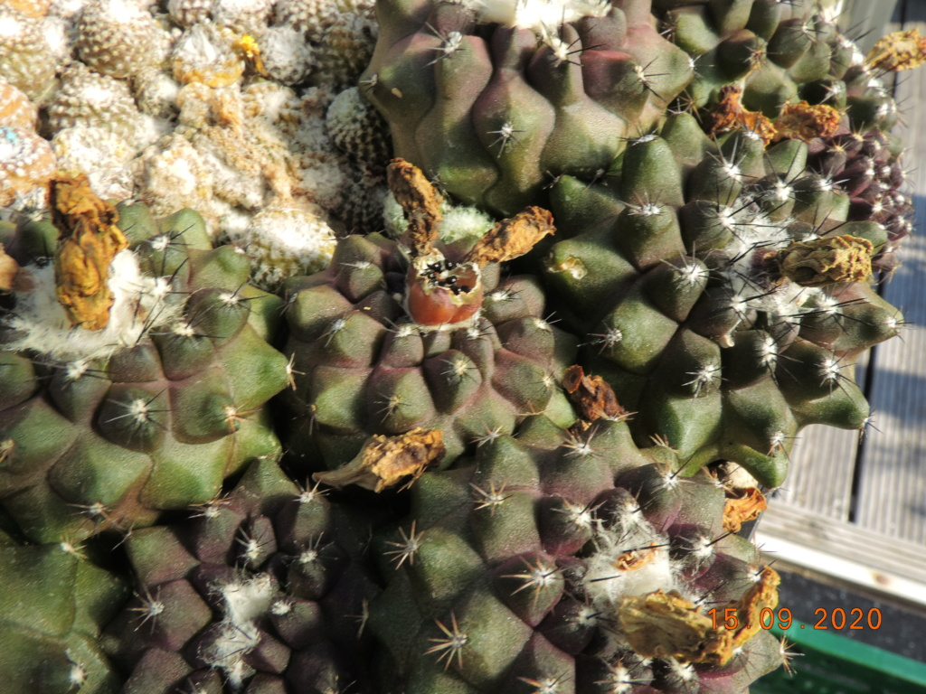 Cacti and Sukkulent in Köln, every day new flowers in the greenhouse Part 243 Bild6175