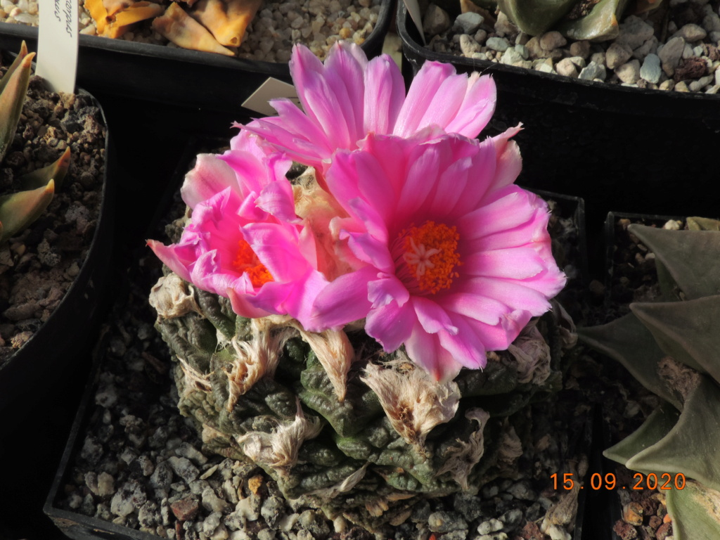 Cacti and Sukkulent in Köln, every day new flowers in the greenhouse Part 243 Bild6179
