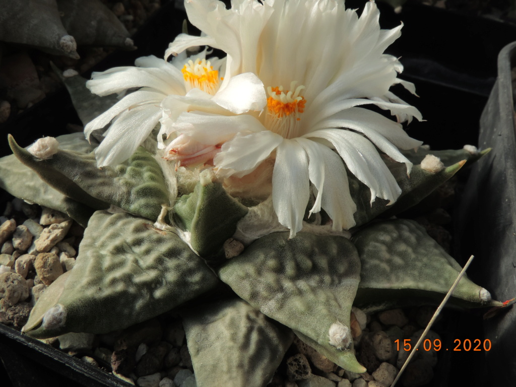 Cacti and Sukkulent in Köln, every day new flowers in the greenhouse Part 243 Bild6180