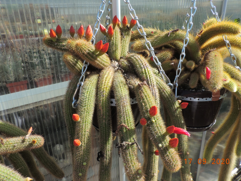 Cacti and Sukkulent in Köln, every day new flowers in the greenhouse Part 243 Bild6188
