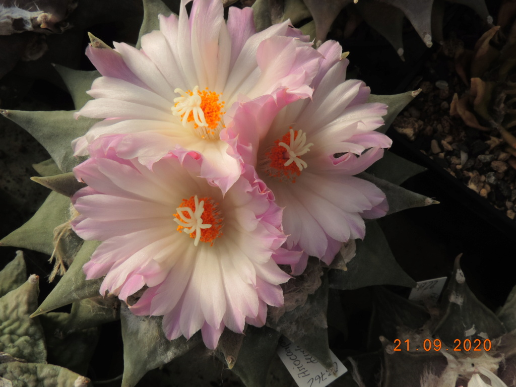 Cacti and Sukkulent in Köln, every day new flowers in the greenhouse Part 243 Bild6228