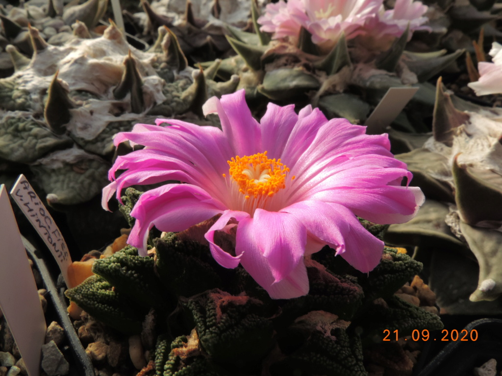 Cacti and Sukkulent in Köln, every day new flowers in the greenhouse Part 243 Bild6229
