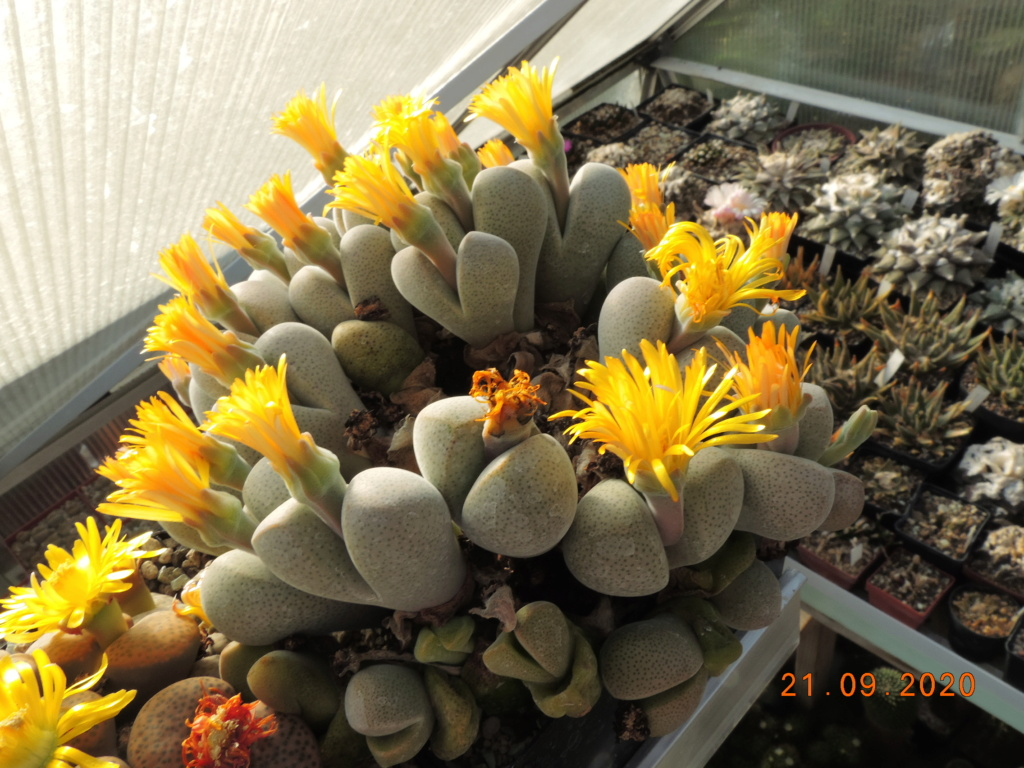 Cacti and Sukkulent in Köln, every day new flowers in the greenhouse Part 243 Bild6244