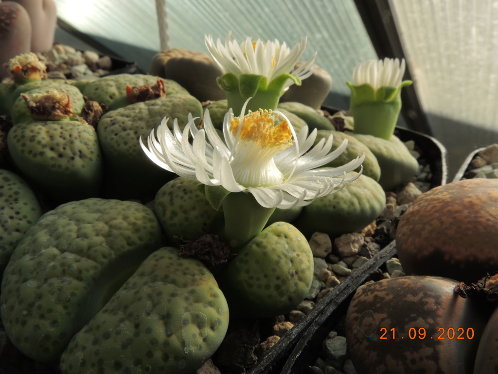 Cacti and Sukkulent in Köln, every day new flowers in the greenhouse Part 243 Bild6245
