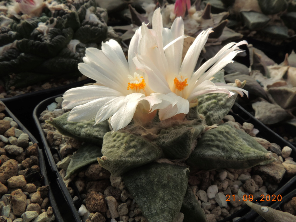 Cacti and Sukkulent in Köln, every day new flowers in the greenhouse Part 243 Bild6250