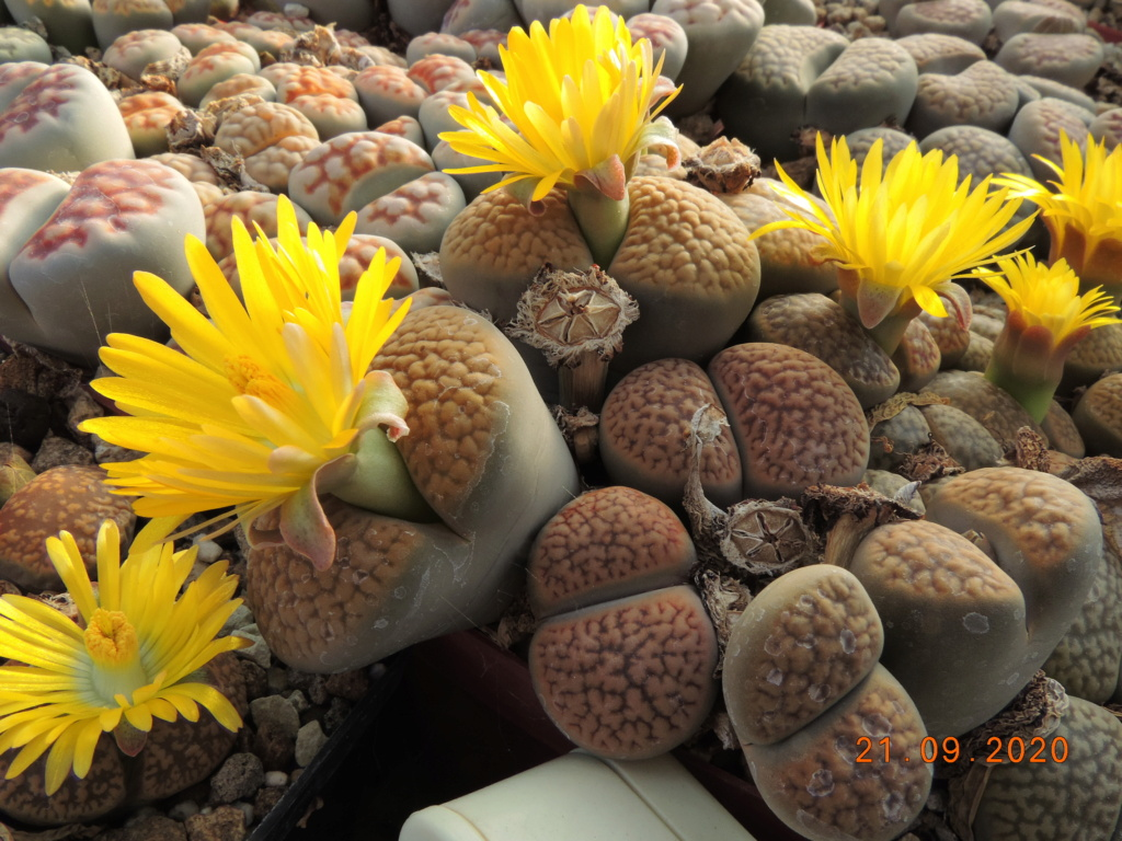 Cacti and Sukkulent in Köln, every day new flowers in the greenhouse Part 243 Bild6255