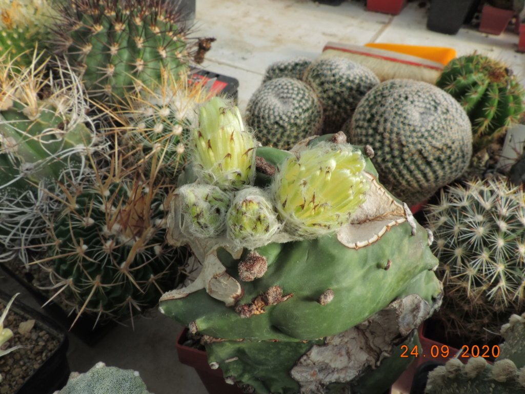 Cacti and Sukkulent in Köln, every day new flowers in the greenhouse Part 243 Bild6298