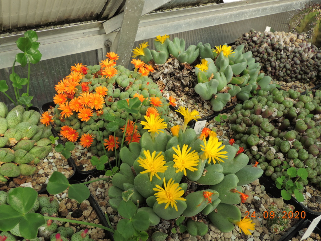 Cacti and Sukkulent in Köln, every day new flowers in the greenhouse Part 243 Bild6313