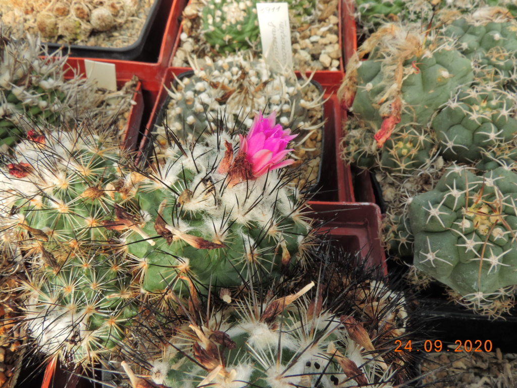 Cacti and Sukkulent in Köln, every day new flowers in the greenhouse Part 243 Bild6314