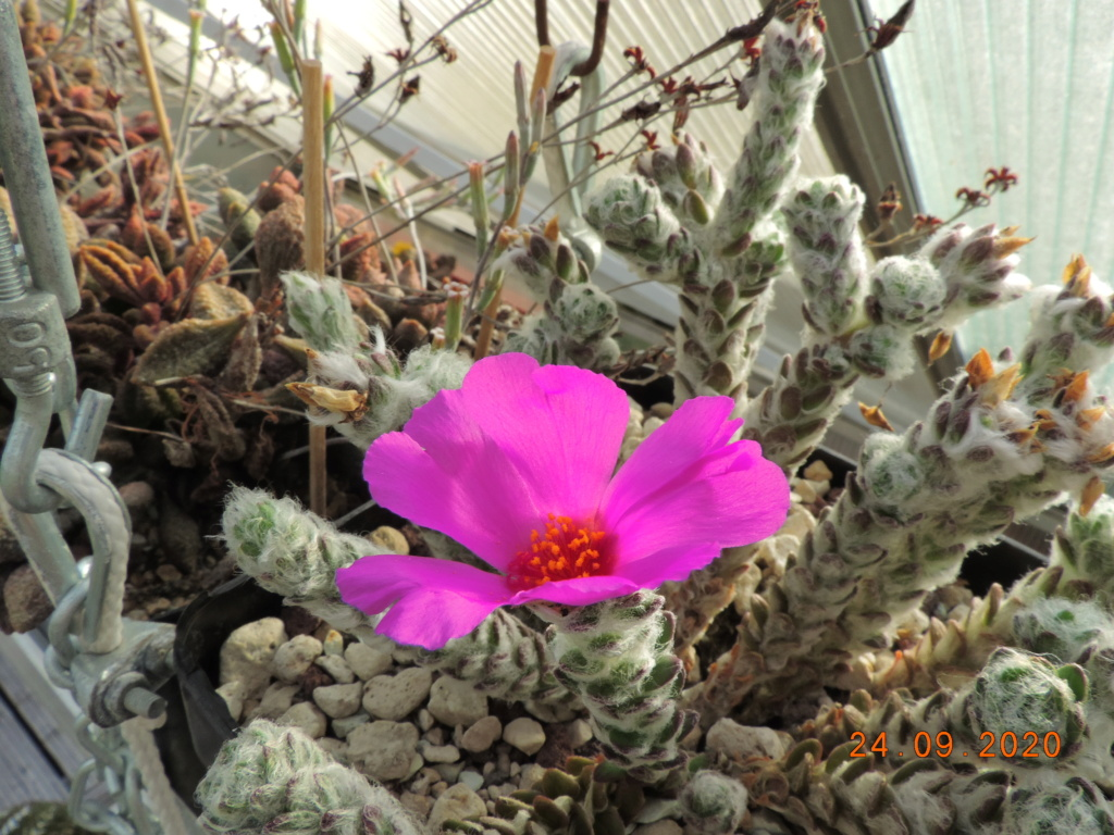 Cacti and Sukkulent in Köln, every day new flowers in the greenhouse Part 243 Bild6320