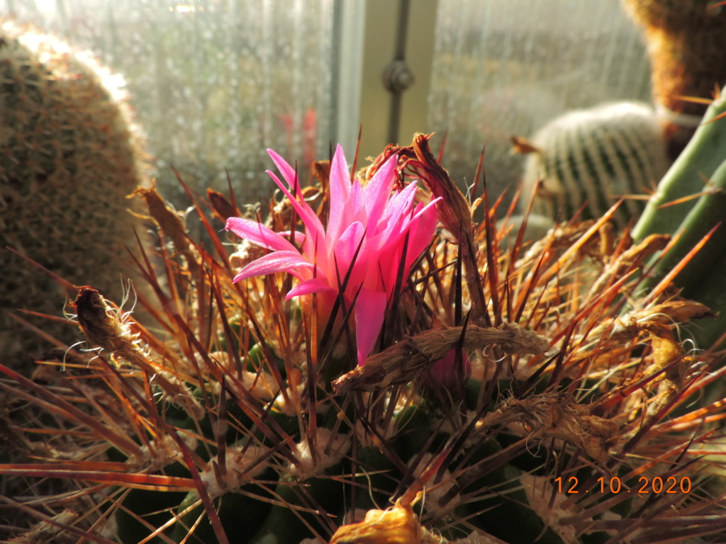 Cacti and Sukkulent in Köln, every day new flowers in the greenhouse Part 245 Bild6464