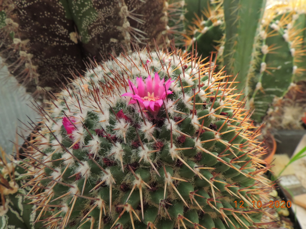 Cacti and Sukkulent in Köln, every day new flowers in the greenhouse Part 245 Bild6466