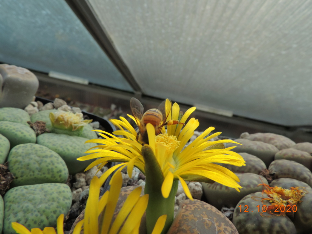 Cacti and Sukkulent in Köln, every day new flowers in the greenhouse Part 245 Bild6473