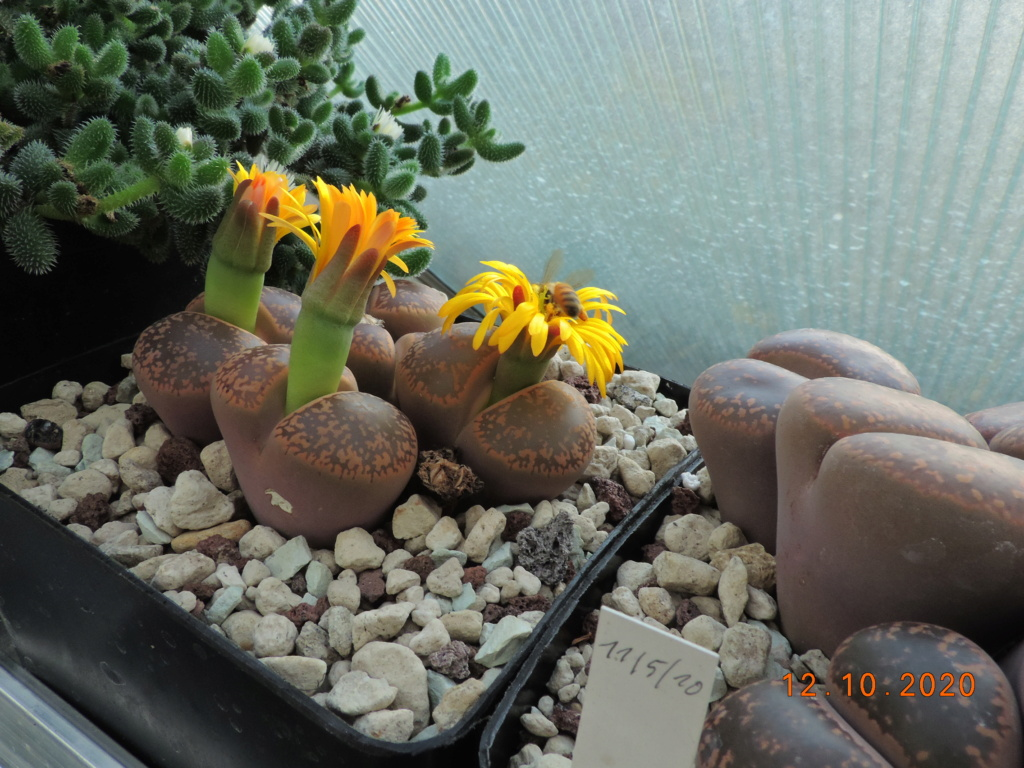 Cacti and Sukkulent in Köln, every day new flowers in the greenhouse Part 245 Bild6474
