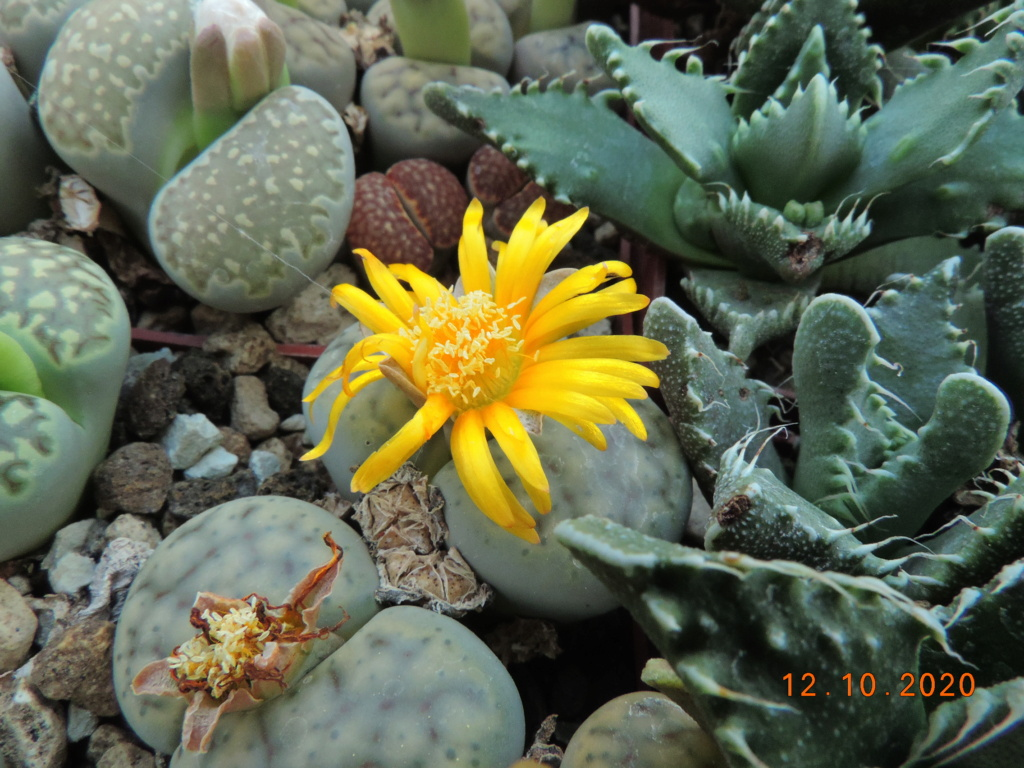 Cacti and Sukkulent in Köln, every day new flowers in the greenhouse Part 245 Bild6476