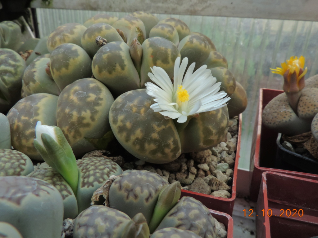 Cacti and Sukkulent in Köln, every day new flowers in the greenhouse Part 245 Bild6478