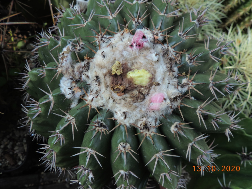 Cacti and Sukkulent in Köln, every day new flowers in the greenhouse Part 245 Bild6481