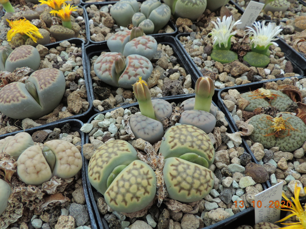 Cacti and Sukkulent in Köln, every day new flowers in the greenhouse Part 245 Bild6489