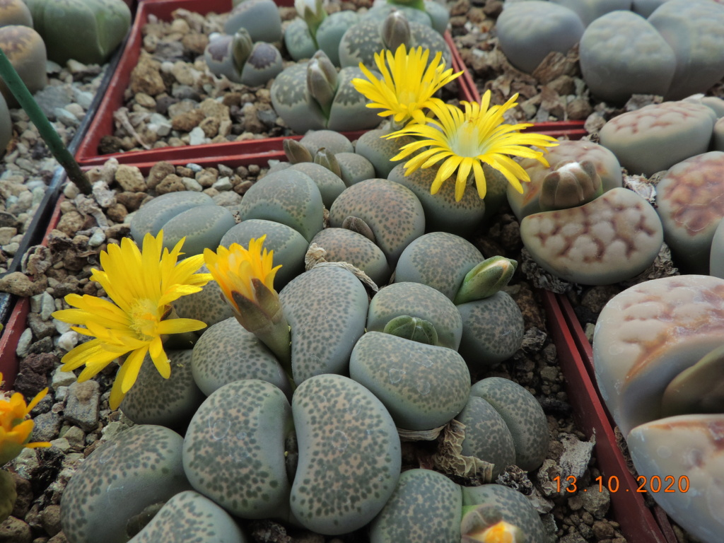 Cacti and Sukkulent in Köln, every day new flowers in the greenhouse Part 245 Bild6495