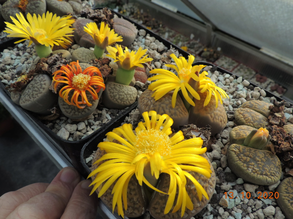 Cacti and Sukkulent in Köln, every day new flowers in the greenhouse Part 245 Bild6497