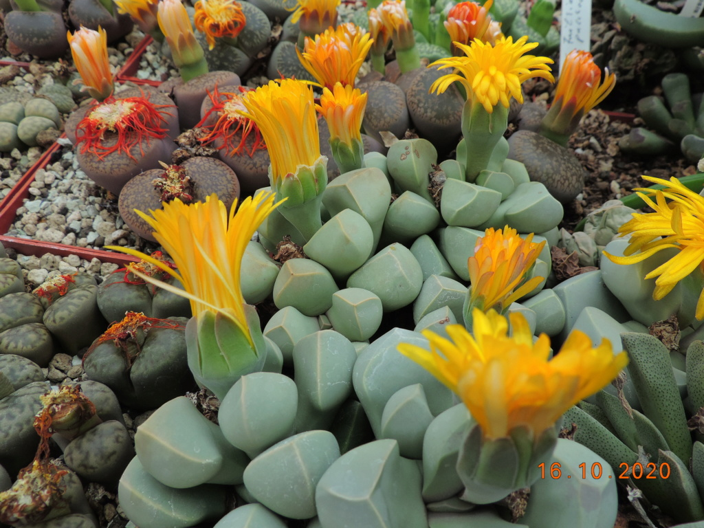 Cacti and Sukkulent in Köln, every day new flowers in the greenhouse Part 245 Bild6534