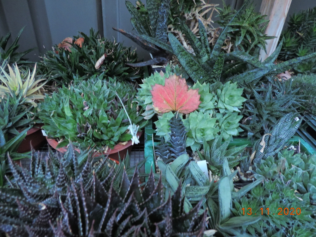 Cacti and Sukkulent in Köln, every day new flowers in the greenhouse Part 248 Bild6764