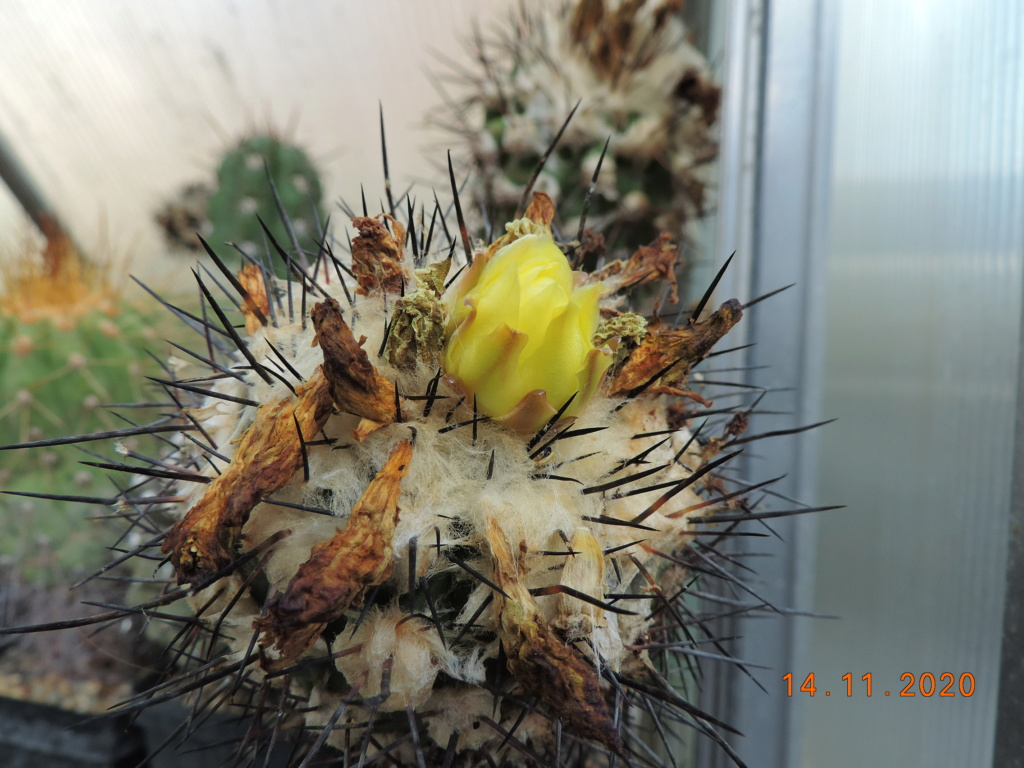 Cacti and Sukkulent in Köln, every day new flowers in the greenhouse Part 248 Bild6779