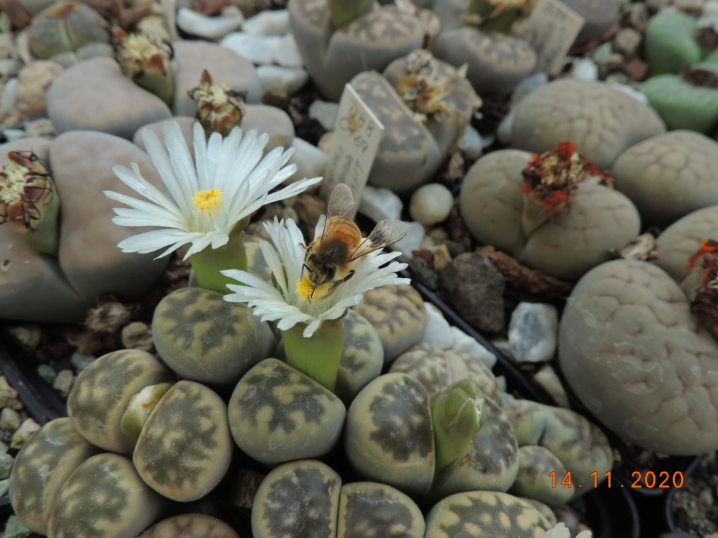 Cacti and Sukkulent in Köln, every day new flowers in the greenhouse Part 248 Bild6785