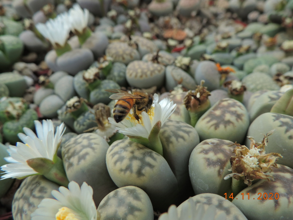 Cacti and Sukkulent in Köln, every day new flowers in the greenhouse Part 248 Bild6793