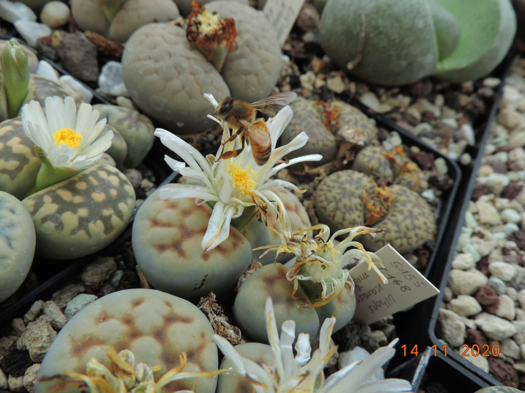 Cacti and Sukkulent in Köln, every day new flowers in the greenhouse Part 248 Bild6799