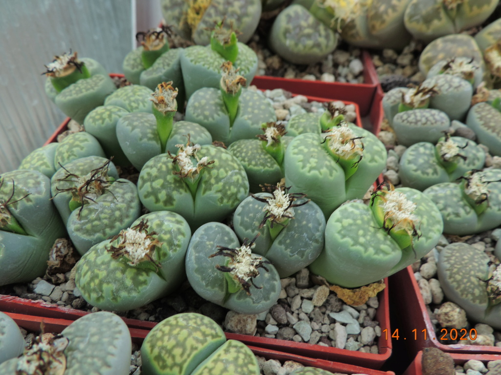 Cacti and Sukkulent in Köln, every day new flowers in the greenhouse Part 248 Bild6803
