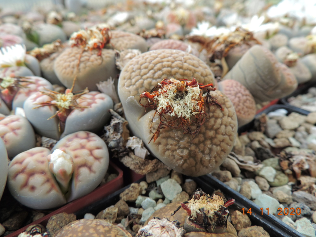 Cacti and Sukkulent in Köln, every day new flowers in the greenhouse Part 248 Bild6805