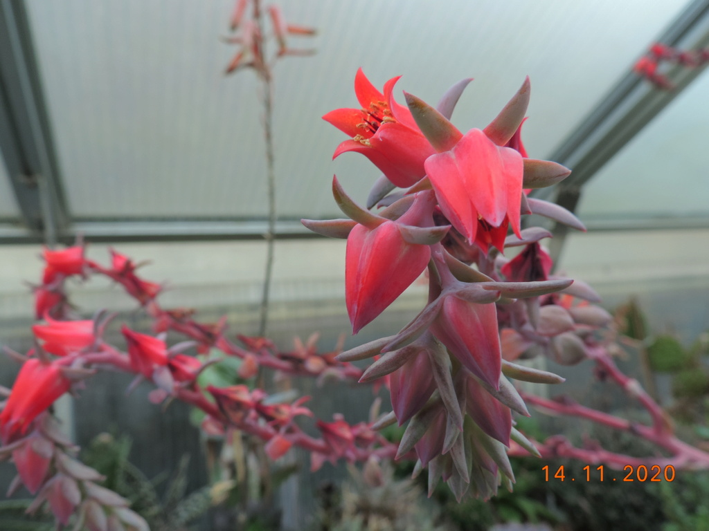 Cacti and Sukkulent in Köln, every day new flowers in the greenhouse Part 248 Bild6812