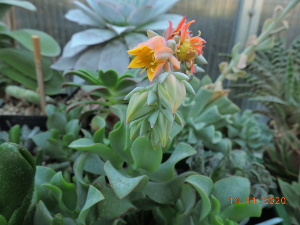 Cacti and Sukkulent in Köln, every day new flowers in the greenhouse Part 248 Bild6813