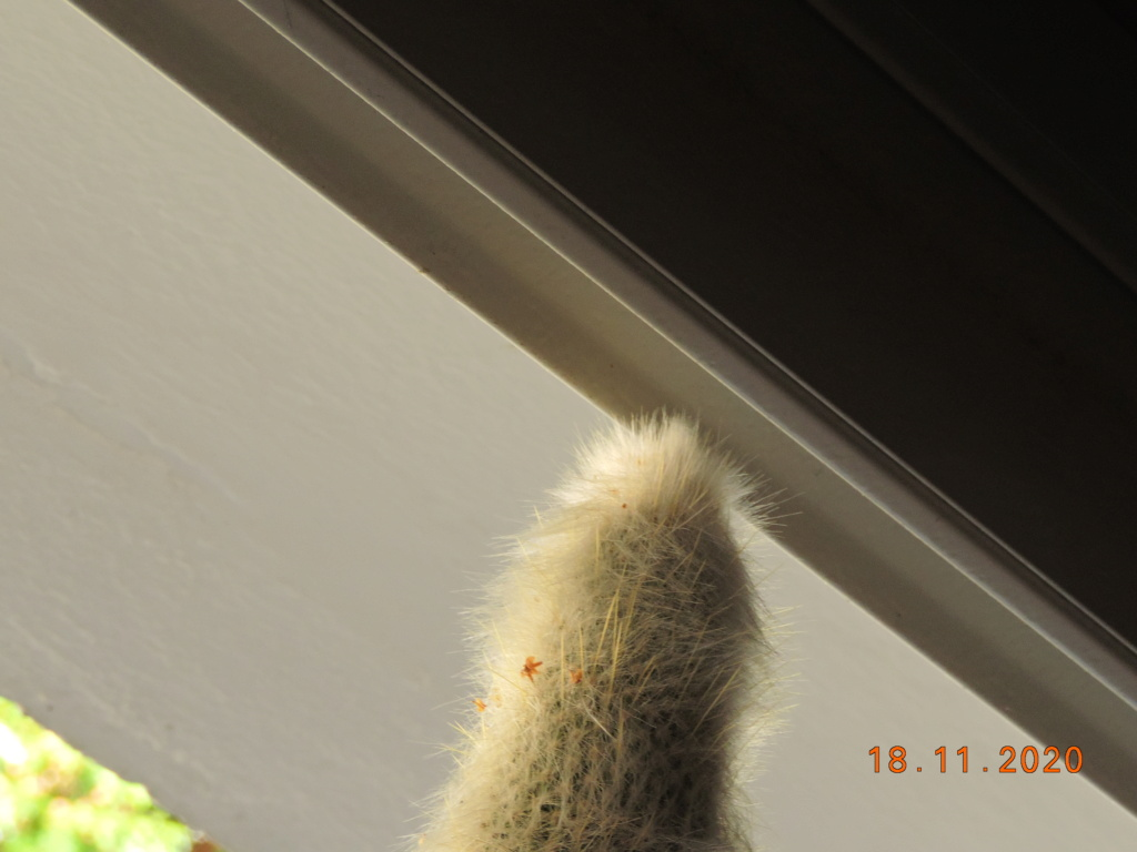 Cacti and Sukkulent in Köln, every day new flowers in the greenhouse Part 248 Bild6830