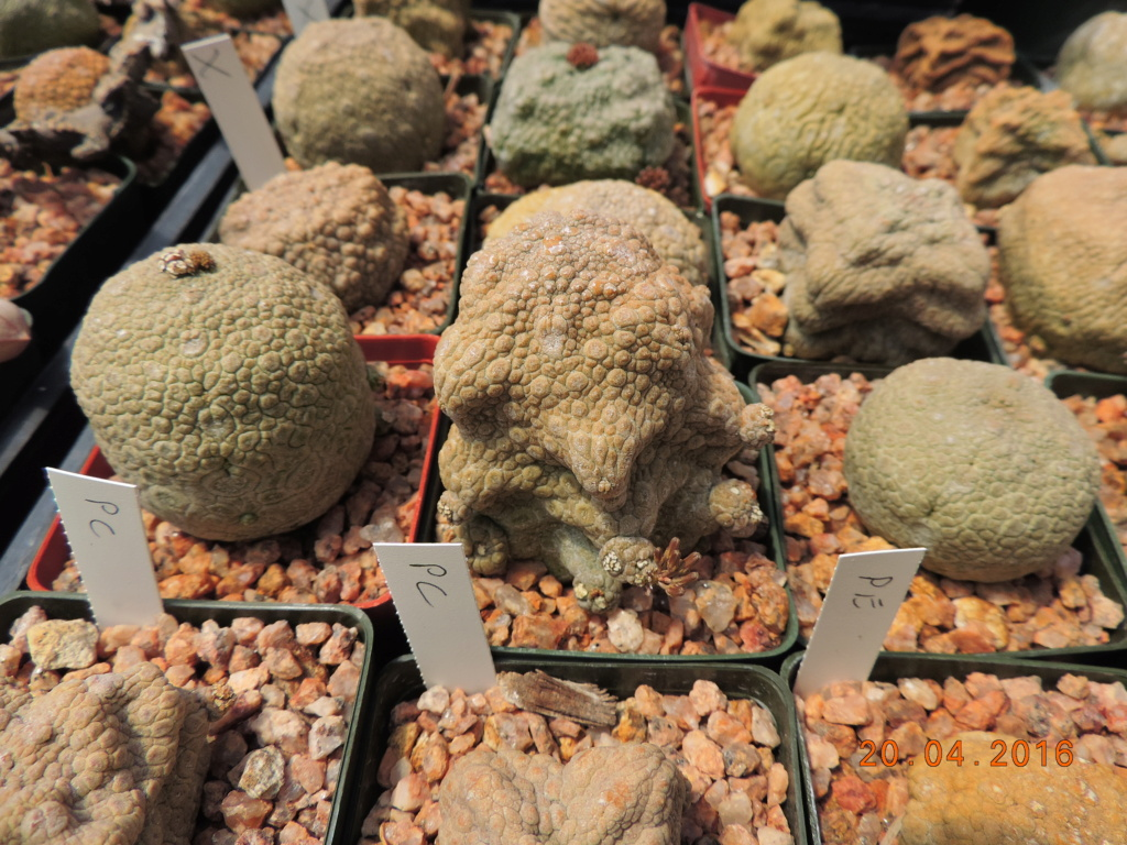 Cacti and Sukkulent in Köln, every day new flowers in the greenhouse Part 248 Bild6849
