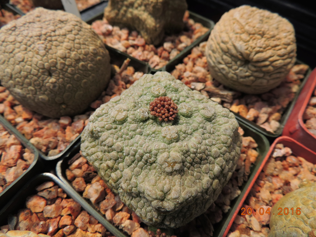 Cacti and Sukkulent in Köln, every day new flowers in the greenhouse Part 248 Bild6850