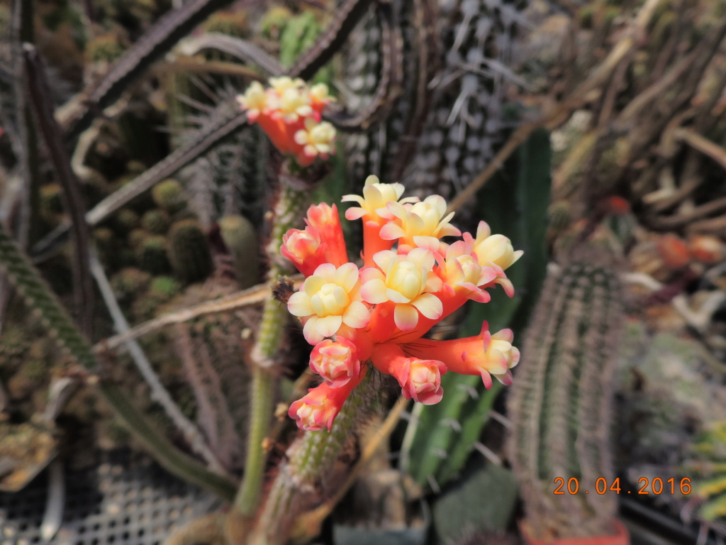 Cacti and Sukkulent in Köln, every day new flowers in the greenhouse Part 248 Bild6852
