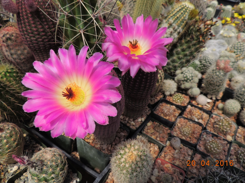 Cacti and Sukkulent in Köln, every day new flowers in the greenhouse Part 248 Bild6853